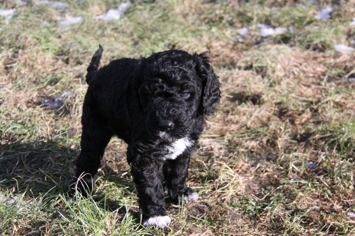 Walk puppies Barbet (4).JPG