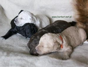 Barbet Suczki Celi i Ofki (3)