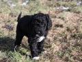 Walk puppies Barbet (4).JPG